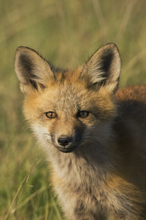 Red Fox Kit von Danita Delimont