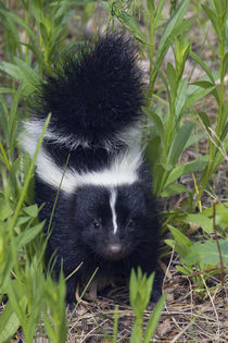 Young Striped Skunk by Danita Delimont