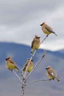 Cedar Waxwing Flock by Danita Delimont