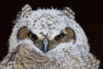 Great Horned Owlet by Danita Delimont