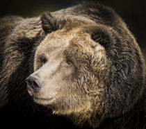 Brown Bear, Grizzly, Ursus arctos, West Yellowstone, Montana von Danita Delimont
