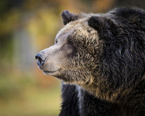 Brown Bear, Grizzly, Ursus arctos, West Yellowstone, Montana by Danita Delimont