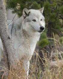 Gray Wolf, Canis lupus, West Yellowstone, Montana by Danita Delimont