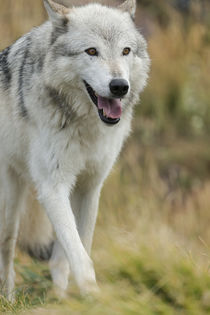 Gray Wolf running in a fall drizzle, Canis lupus, West Yello... by Danita Delimont