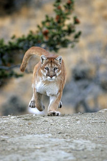 Mountain Lion running, Montana by Danita Delimont