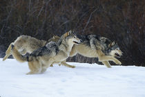 Gray Wolves running in snow in winter, Montana by Danita Delimont
