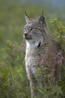 Canada lynx sitting proud, Montana, USA by Danita Delimont