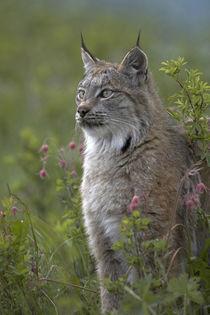 Canada lynx sitting proud, Montana, USA von Danita Delimont
