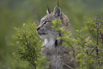 Headshot Canada lynx, Montana, USA von Danita Delimont