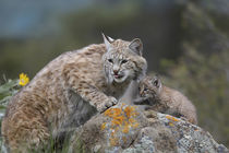 Bobcat Mother with its kitten, Montana, USA by Danita Delimont
