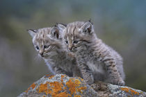 Bobcat kittens looking curiously over some rocks, Montana, USA von Danita Delimont