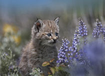 Bobcat kitten sitting among wildflowers, Montana, USA by Danita Delimont