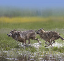 Gray wolves running together, Montana by Danita Delimont