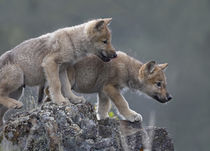 Curious Gray wolf pups, Montana by Danita Delimont