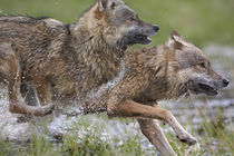 Two Gray Wolves running in swamp, Montana von Danita Delimont