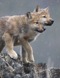 Gray wolf pups in snow, Montana by Danita Delimont