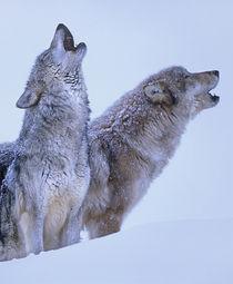 Gray wolves howling in snow, Montana von Danita Delimont