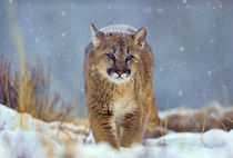 Mountain Lion, Montana, USA by Danita Delimont