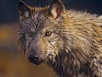 Gray Wolf headshot, Montana von Danita Delimont