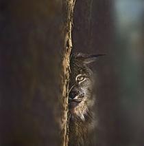 Canada Lynx, Montana, USA von Danita Delimont