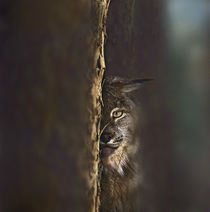 Canada Lynx, Montana, USA by Danita Delimont
