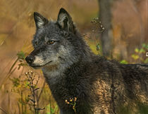 Gray wolf in autumn, Montana by Danita Delimont