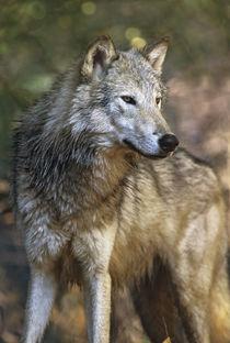 Portrait of a Gray wolf, Montana von Danita Delimont