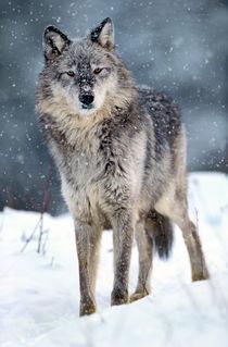 Gray wolf in falling snow, Montana von Danita Delimont