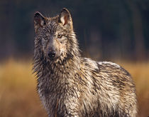 Gray wolf wet and covered in mud, Montana by Danita Delimont