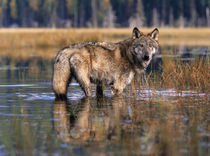 Gray wolf in a swamp drinking the water, autumn, Montana von Danita Delimont