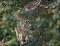 Canada Lynx hiding in the brush preparing to pounce, Montana, USA von Danita Delimont