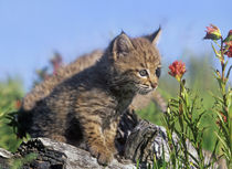 Curious Bobcat kittens, Montana, USA by Danita Delimont