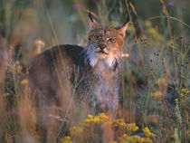 Canada lynx in tall grass, Montana, USA by Danita Delimont
