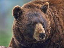 Cinnamon Black Bear by Danita Delimont