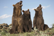 Grizzly bear with cubs, Montana, USA by Danita Delimont