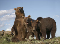 Grizzly bear sitting with her cubs, Montana, USA von Danita Delimont