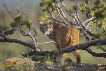 Bobcat on lookout, Montana, USA by Danita Delimont