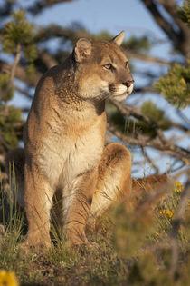 Mountain lion looking off into the distance, Montana, USA von Danita Delimont