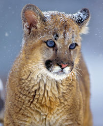 portrait of a Mountain Lion Kitten, Montana, USA von Danita Delimont