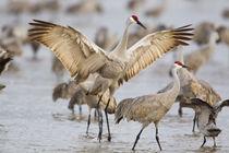 Sandhill Cranes by Danita Delimont