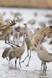 Sandhill Cranes von Danita Delimont