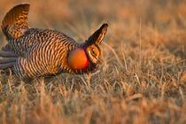 Prairie Chickens by Danita Delimont