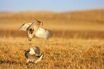 Prairie Chickens von Danita Delimont