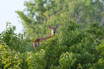 USA, Nebraska, White tail doe on hill in the trees. by Danita Delimont