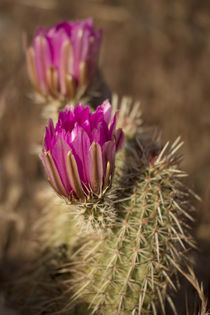 Hedgehog cactus in bloom, Red Rock Canyon National Conservat... by Danita Delimont
