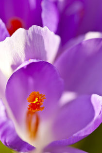 Purple crocus. by Danita Delimont