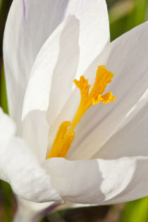 A white crocus in a garden in Portsmouth, New Hampshire. by Danita Delimont