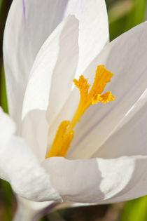 A white crocus in a garden in Portsmouth, New Hampshire. von Danita Delimont