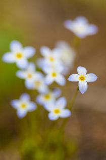 Bluets, Houstonia caerulea, in a Durham, New Hampshire forest. von Danita Delimont