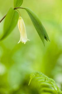 Sessile bellwort, Uvularia sessilifolia, a von Danita Delimont